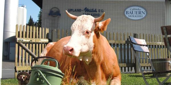 Kuh vor der Upländer Bauernmolkerei