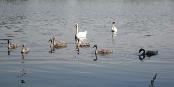 Neues Leben auf dem Teich - Schwäne