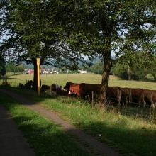Kühe zwischen Büschfeld un Nunkirchen