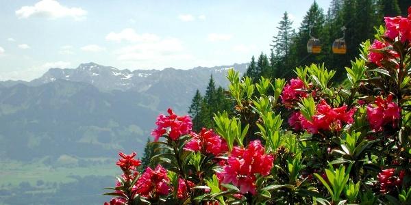 Hörnerbahn in Bolsterlang zur Alpenrosenblüte