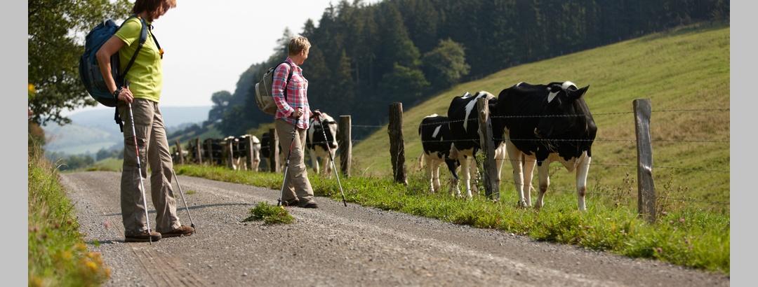 Wanderer macht Halt neben einer Kuhherde am Weserbergland-Weg