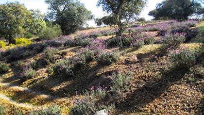 Lavendel: berauschender Duft