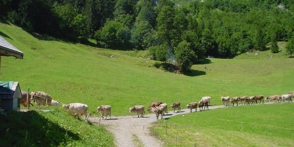 Vieh auf der Alp