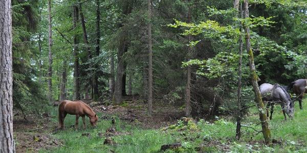 Pferde an der Neuweiler Viehweide