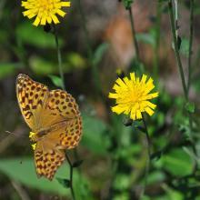 Es gibt unterwegs auch verschiedene Schmetterlinge zu beobachten. (Kaisermantel)