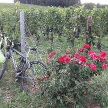 Durch Weingarten oberhalb von Horitschon