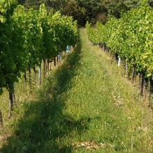 Im letzten Drittel des Weges gibt es viele Weingärten