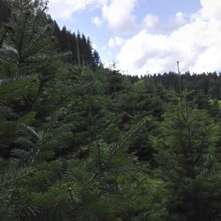 Weihnachtsbaum-Schonung