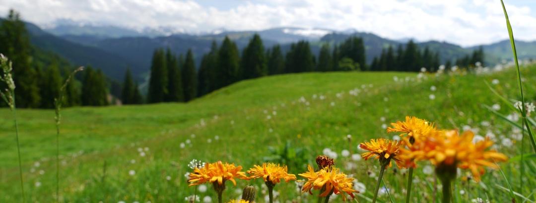 Blooming mountain meadows in Oberallgäu