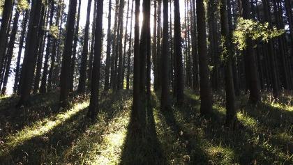 Im fichtenwald