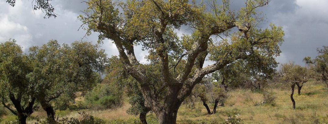 Korkeichen in der Region Alentejo