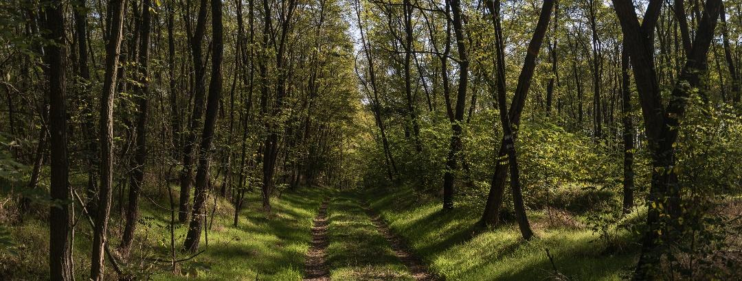 A Bihari-sík erdővel borított részén halad az Alföldi Kéktúra