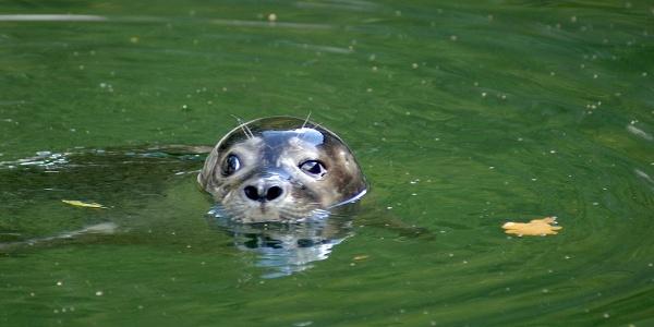 Seehund im Tierpark Dählhölzli.