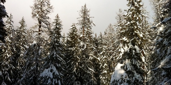 Snow-covered mountain forest