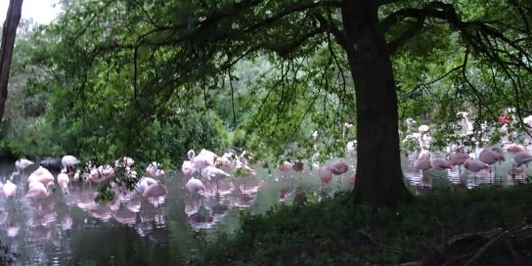 Flamingos an den St. Peter Weihern in Leopoldskron