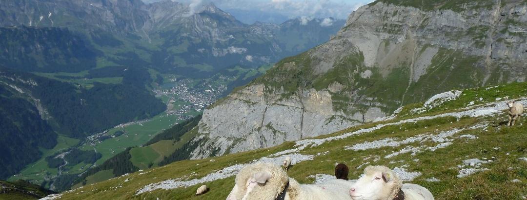 Neugierige Schafe mit Tiefblick nach Engelberg, Rechts der Hahnen