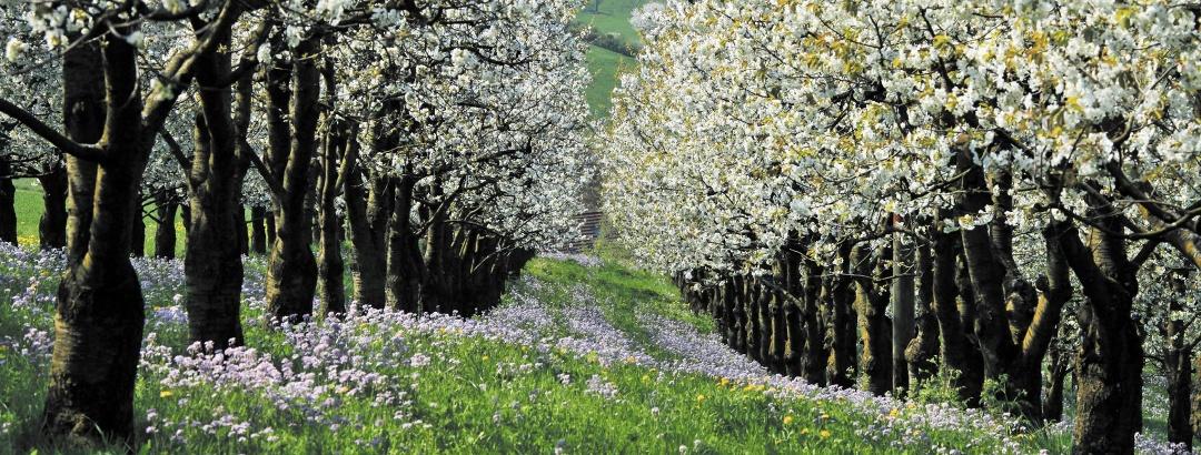 Kirschbäume bei Olsberg