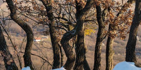 Tölgyek kapaszkodnak a sziklaorom peremébe a Petőfi-pihenő közelében