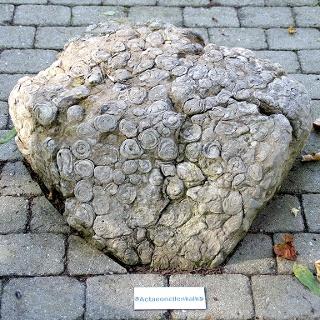 Actaeonellen - steinerne Zeugen aus dem Urmeer