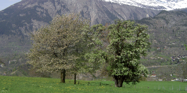 Hochstamm Bäume