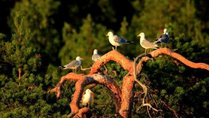 Vögel in Liminka Bay