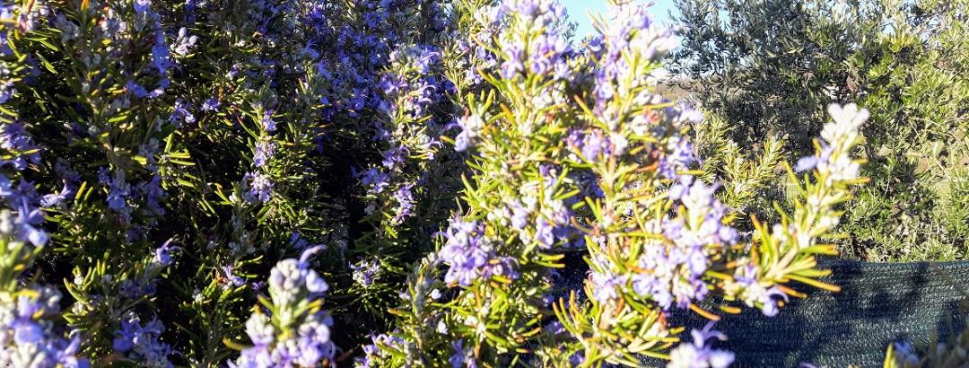 Blühende Rosmarin-Hecken in den Weinbergen Bardolinos
