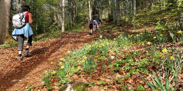 Selbst im Jurawald blühen die Osterglocken.