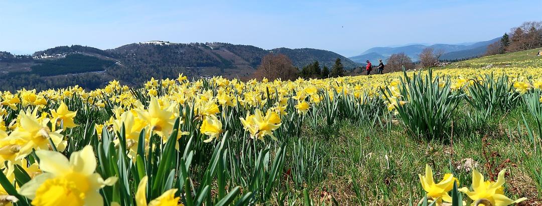 Wandern entlang blühender Osterglockenfelder.
