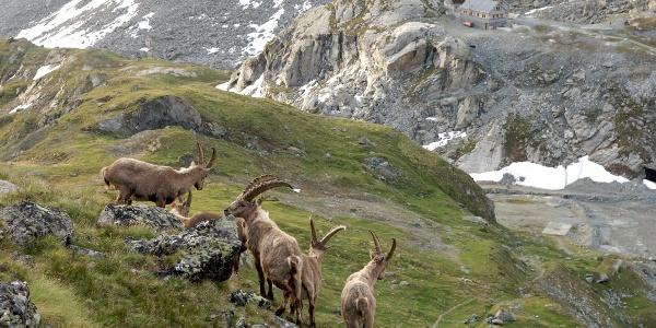 A herd of capricorns
