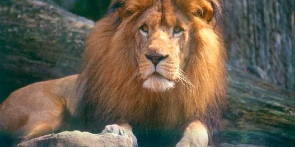 Löwe im Zoo Siegelbach