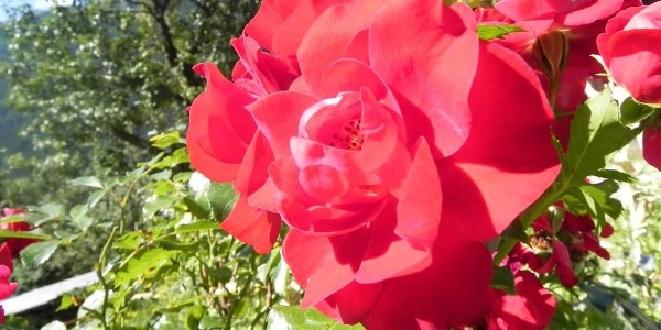 duftente Rose