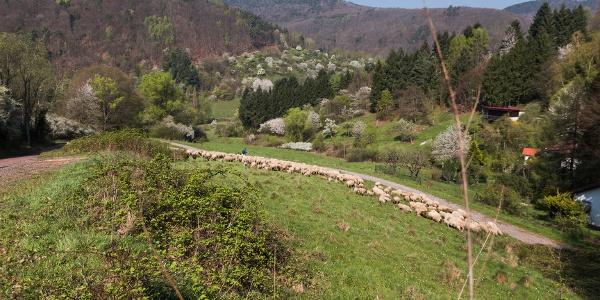 Schafherde im Dernbachtal