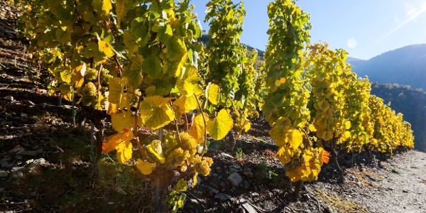 Grapevines on the Europe's highest vineyard