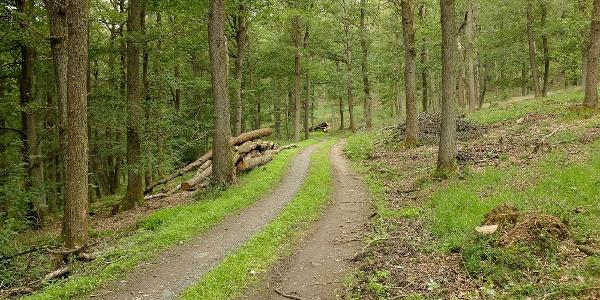 Lichte Eichen-, Buchen- und Fichtenhochwälder mit Jungholz prägen die Runde um den Hamberg