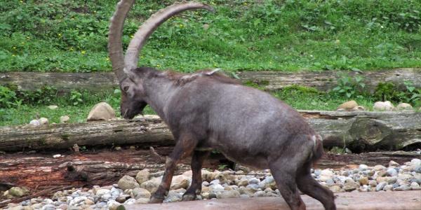 Ein majästestischer Bewohner unserer Alpen, der Steinbock