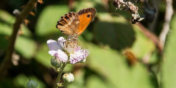Die Blüten ziehen viele Schmetterlingsarten an: Hier ein Rotbraunes Ochsenauge,…