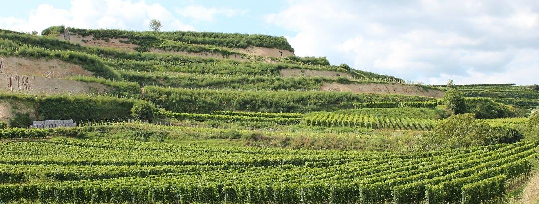 Weinberg bei Ihringen