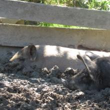 selbst die Schweine fühlen sich auf der Alpe Sonnhalde wohl