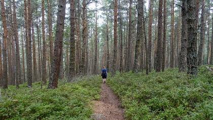 Wanderung durch Blaubeerbüsche und Nadelwald