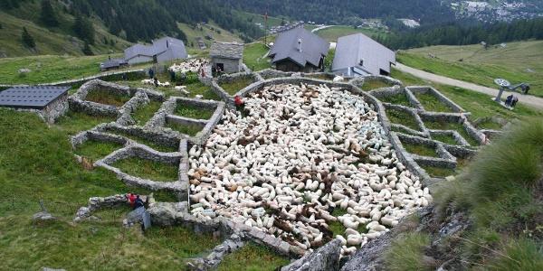 Färrich mit Schafen