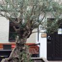 Oliven Baum, nehme ich an