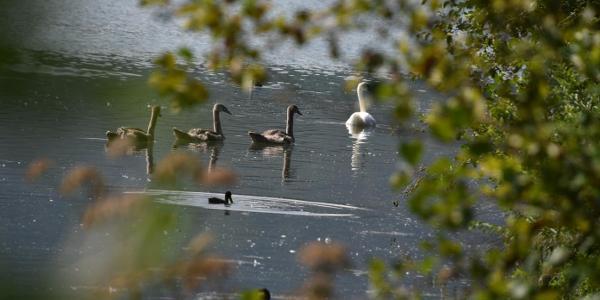 Schwanenfamilie im Rhein