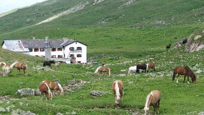 Haflinger Pferde vor der Heidelberger Hütte