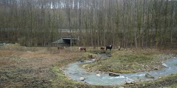 Auch Rinder findet man entlang des Weges