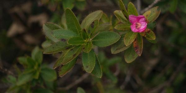 Zweite Blüte im November! Alpenrose, Rhododendron hirsutum