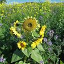 Zwischenfruchtanbau mit Raps, Sonnenblumen und blauer Phacelia