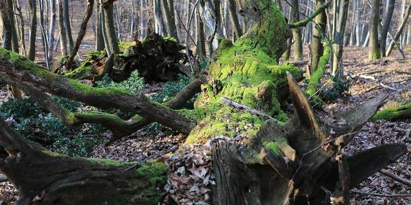 Vadregényes erdőben gyalogolunk a Kis-kaszáló tisztásához