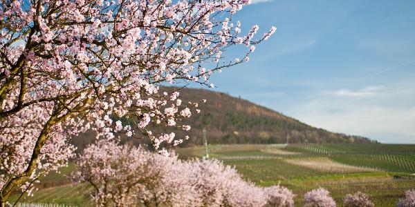 Mandelblüte an der Südlichen Weinstraße