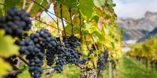 Die Bündner Herrschaft ist bekannt für den hervorragenden Wein.