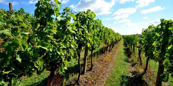 Moravské vinohrady